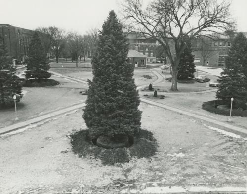 Spruces prepared for transplanting, 1967.