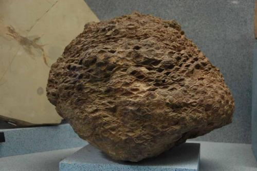 cycad fossil