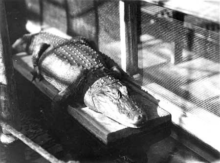 Greenhouse alligator
